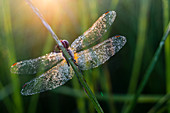 Common Darter (Sympetrum striolatum) dragonfly adult, covered in dew, at dawn, Elmley Marshes National Nature Reserve, Isle of Sheppey, Kent, England, United Kingdom, Europe