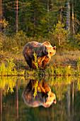 Eurasian brown bear (Ursus arctos arctos) in evening sunlight, reflected in lake, Kuhmo, Finland, Europe
