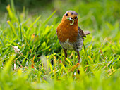Robin, County Clare, Munster, Republic of Ireland, Europe