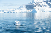 Humpback whale slapping tail with Antarctic background, Antarctica, Polar Regions