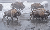 Frozen bison crossing a stream, Yellowstone National Park, UNESCO World Heritage Site, Wyoming, United States of America, North America