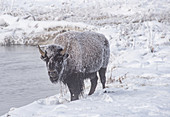 Frozen bison (Bison bison), on a river bank, Yellowstone National Park, UNESCO World Heritage Site, Wyoming, United States of America, North America