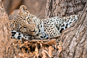 Young leopard resting in a tree, South Luangwa National Park, Zambia, Africa