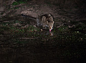 Leopard drinking at night (Panthera pardus), South Luangwa National Park, Zambia, Africa