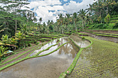Rice terraces flooded in the jungle, Bali, Indonesia, Southeast Asia, Asia