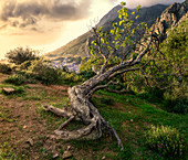 An ancient tree lying on a hillside above Chefchaouen, Morocco, North Africa, Africa