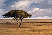 Salvadora waterhole in Etosha, famous for this lonely tree in the middle of the savannah, Namibia, Africa