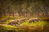 Zambia, Lower Zambezi National Park, African elephantx (Loxodonta africana) crossing the marshes