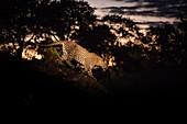 A leopard, Panthera pardus, walking along a log at night, lit by spotlight.
