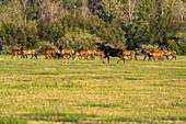 USA,Idaho,Sun Valley,Herd of wild animals in meadow