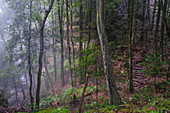 Australia,New South Whales,Katoomba,Misty rain forest in Blue Mountains National Park