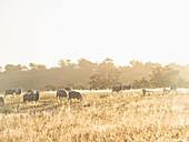 Australia,New South Whales,Kandos,Sheep grazing at sunset