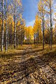 USA,Idaho,Sun Valley,Path through autumn forest with yellow trees