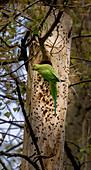 Indian ringneck parrot building a nest in the tree for breeding, Bad Honnef, NRW, Germany