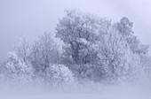 Grove of trees on a foggy morning in winter in Kochelmoos, Kochel am See, Upper Bavaria, Bavaria, Germany