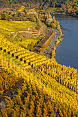 View over autumnal vine leaves on the Moselle, Winningen, Moselle Valley, Rhineland-Palatinate, Germany, Europe