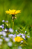 Dandelions and forget-me-nots in a meadow in the sunlight, Bavaria, Germany, Europe