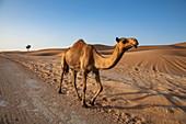 Kamel läuft entlang Straße durch die Wüste, nahe Arabian Nights Village, Razeen Area of Al Khatim, Abu Dhabi, Vereinigte Arabische Emirate, Naher Osten