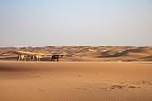 Three camels run on sand dune in the desert, near Arabian Nights Village, Razeen Area of Al Khatim, Abu Dhabi, United Arab Emirates, Middle East