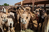 Dromedaries in the Al Ain Camel Market, Al Ain, Abu Dhabi, United Arab Emirates, Middle East