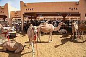 Dromedare auf dem Al Ain Kamelmarkt, Al Ain, Abu Dhabi, Vereinigte Arabische Emirate, Naher Osten