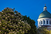 Flowering chestnut tree and dome of the Kingston Capitol Building at dusk, Kingston, Ontario, Canada, North America