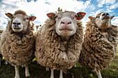 Drei neugierige Texel-Schafe auf einer Wiese, nahe Oudeschild, Texel, Westfriesische Inseln, Friesland, Niederlande, Europa