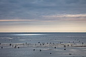 Birds in the Wadden Sea at low tide, near Oosterend, Terschelling, West Frisian Islands, Friesland, Netherlands, Europe