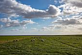 Sheep in a meadow, near Ballum, Ameland, West Frisian Islands, Friesland, Netherlands, Europe