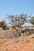 Angola; im westlichen Teil der Provinz Cunene; für den Süden typische Grassavanne mit Akazienbäumen und kleinen Sandsteinfelsblöcken