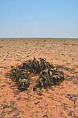 Angola; in the southern part of Namibe Province; Namib Desert; Iona National Park; male Welwitschia; endemic to the Namib Desert