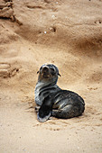 Angola; southern part of Namibe Province; Iona National Park; Baia dos Tigres; small seal on the beach