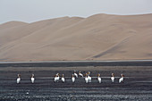 Angola; southern part of Namibe Province; Iona National Park; Pelicans in the Baia dos Tigres;