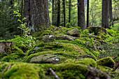 Mosses near Bischofsgrün in the Fichtelgebirge, Upper Franconia, Bavaria, Germany