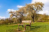 Bank vor blühenden Kirschbäumen in Franken nahe Ebermannstadt im Abendlicht, Oberfranken, Bayern, Deutschland
