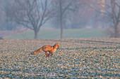 Fuchs im ersten Morgenlicht auf einem Rapsfeld, Fuchs, Rauhreif, Rapsacker, Schleswig-Holstein, Deutschland