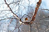 Robin in a birch, bird