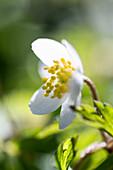 Wood anemone in the wood, Georgshof, Ostholstein, Schleswig-Holstein, Germany