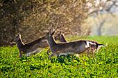 Damtiere in the rapeseed field, Neukirchen, East Holstein, Germany