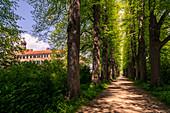 Early summer lime tree avenue in the castle park of Eutin, Holstein Switzerland Nature Park, Ostholstein, Schleswig-Holstein, Germany