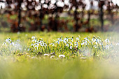 Snowdrops with bokeh