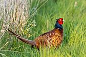 Pheasant, male, Hohes Ufer, Heiligenhafen, Ostholstein, Schleswig-Holstein, Germany