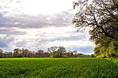 Wheat field with oaks near Sensby, Schwansen, Thumby, Schleswig-Holstein, Germany