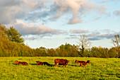 Angusherde in Sieseby an der Schlei, Abendstimmung, Schwansen, Thumby, Schleswig-Holstein, Deutschland
