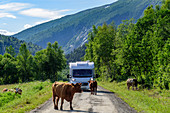 Cows block the way for a mobile home, mountain panoramas and gorges along the Silvervägen (R 77) to Junkerdal, Norway