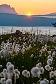 Cotton grass in the sunset, from Fagernesfjell you have a great view of the Ofotfjord and, Narvik, Norway