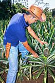 Farmer cuttting pineapple, Sarapiqui, Costa Rica, Central America