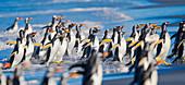 Gentoo Penguins (Pygocelis papua papua) marching, Sea Lion Island, Falkland Islands, South Atlantic, South America