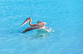 Brauner Pelikan (Pelecanus Occidentalis) Abflug, Key West, Florida, USA