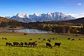 Sheep in a meadow at Geroldsee, view to Karwendel, Werdenfelser Land, Bavaria, Germany
